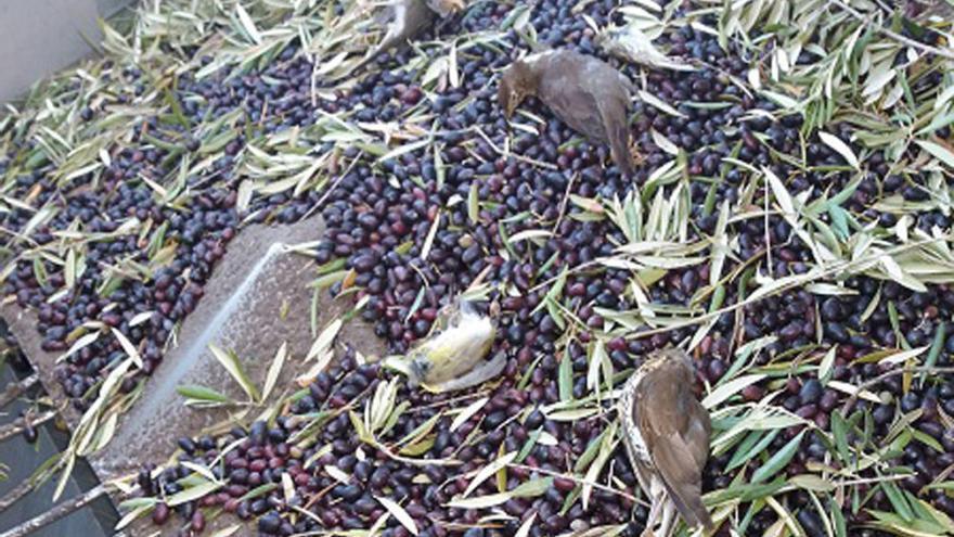 Varios cadáveres de aves protegidas entre aceitunas y hojas de olivo en una cosechadora.