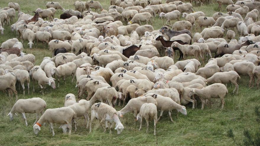Decretada la inmovilización de ganado en cinco provincias andaluzas por casos de 'lengua azul' en el campo cordobés