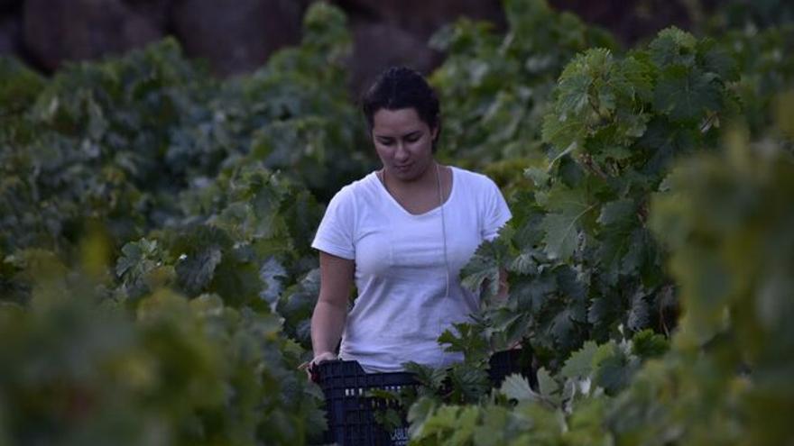 Patricia Perdomo Hernández en la vendimia de sus viñedos.