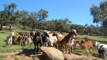 Castilla-La Mancha pagará la próxima semana las ayudas de derechos especiales de ovino y caprino de la PAC