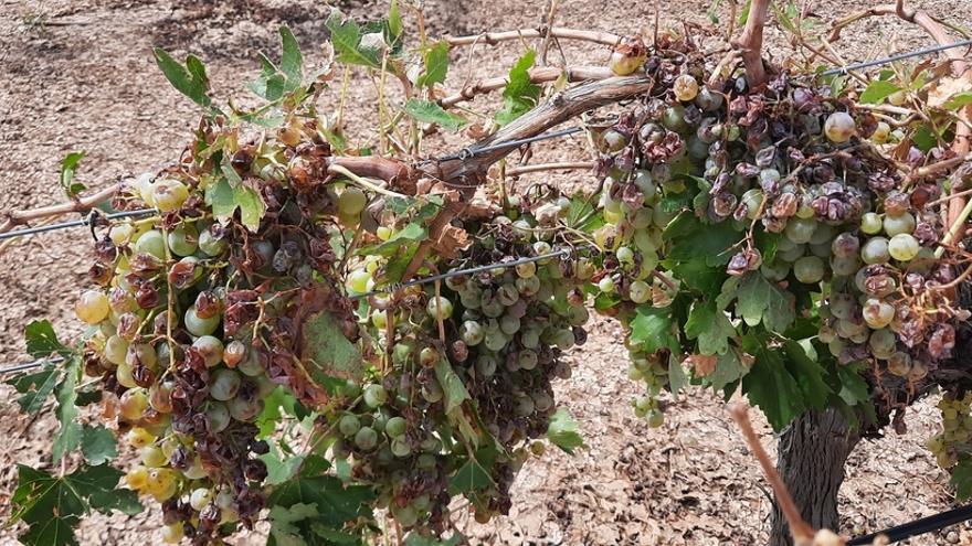 Los daños en la uva de vino disparan las indemnizaciones hasta los 84 millones de euros, la mayor parte de ellos en Castilla-La Mancha