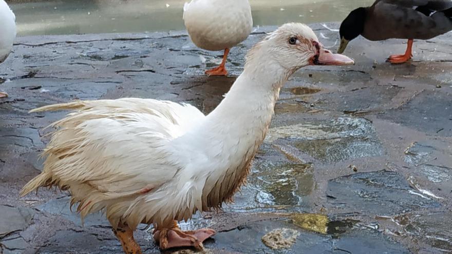 Miles de personas firman para que los patos de los estanques de Albacete se reubiquen en santuarios de animales