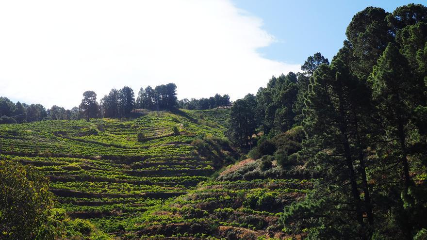 El Gobierno canario abona 3,5 millones en ayudas  al cultivo de la viña por hectárea