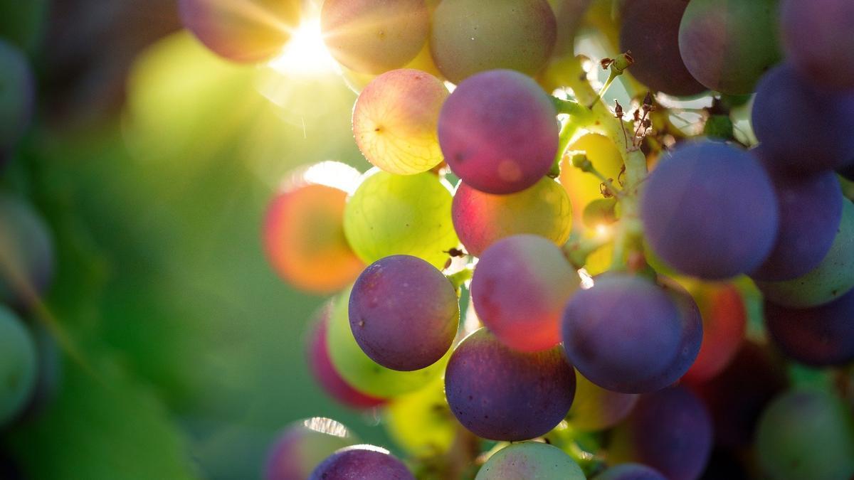Uvas en la cepa
