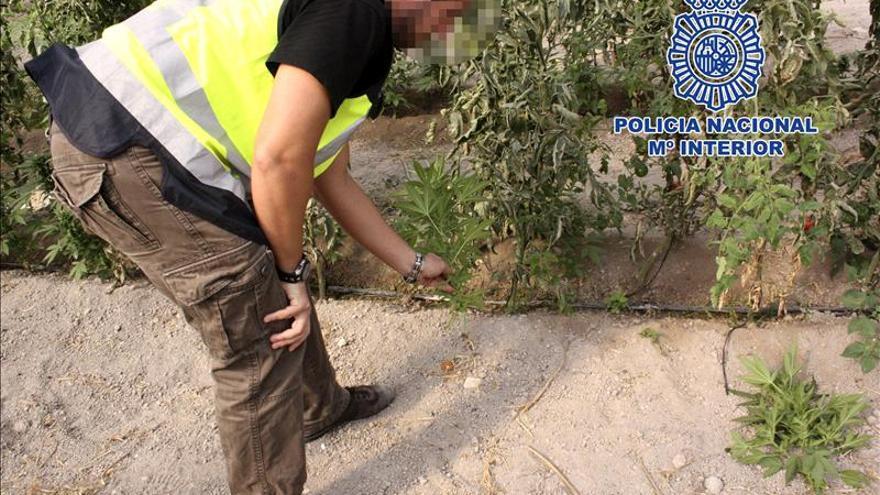 Siete detenidos en Molina que almacenaban marihuana entre tomateras
