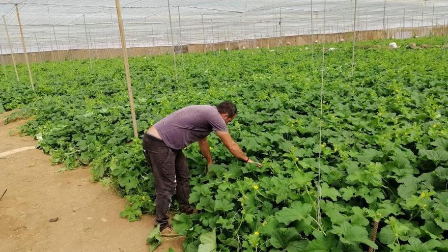 Agricultor trabajando en un invernadero al sur de Gran Canaria.