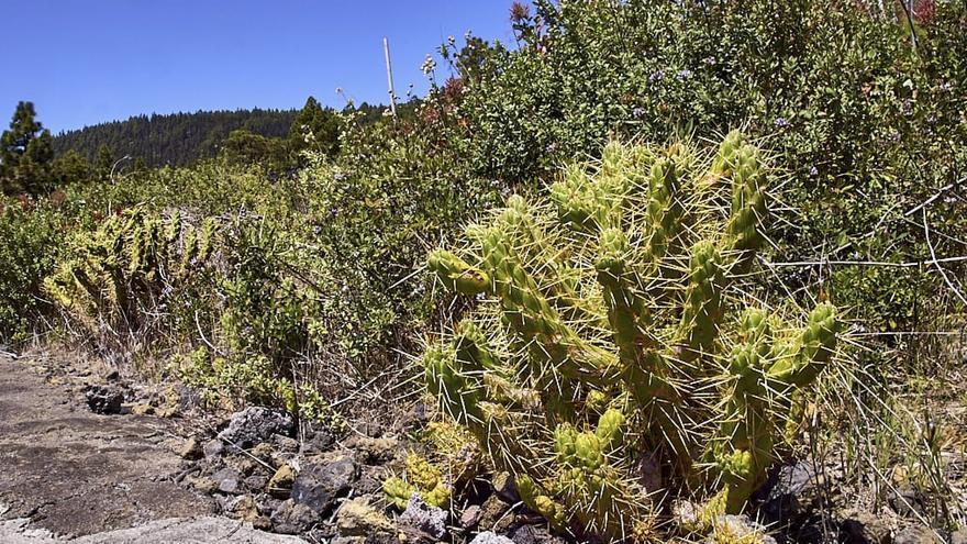Imagen del cactus invasor localizado en la zona de Mendo, en el municipio de El Paso.