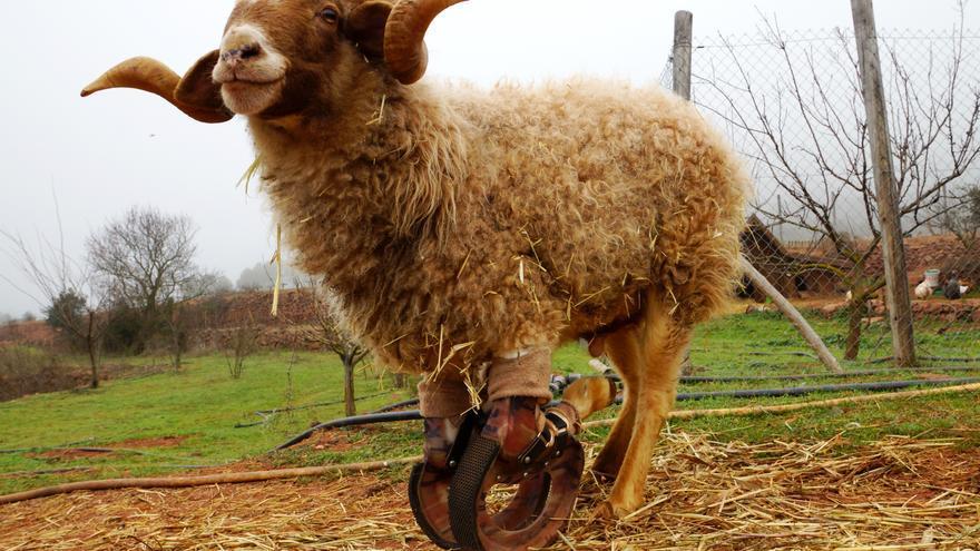 Félix, carnero que fue maltratado y vive refugiado en el santuario El Hogar ProVegan. Foto: Friederike Gösele