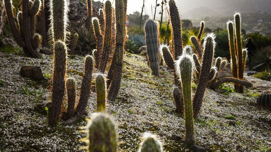 Oreocereus celsionus y en el centro, un saguaro o carnegia gigantea | Foto: Miguel Heredia
