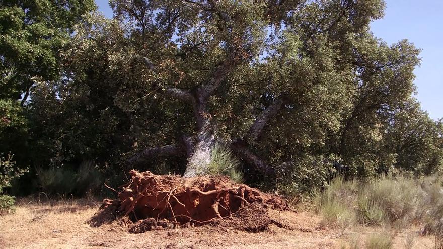 Encina arrancada para los trabajos de la mina de uranio en Salamanca / WWF.