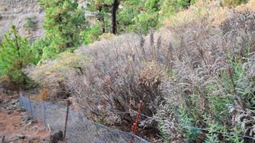 ARRIBA: Plantas casi secas de tajinaste azul genciana, dentro de La Caldera, en el borde de Hoya de Lucía. ABAJO: Plantas de Bencomia con la mayor parte de las hojas secas. (ÁNGEL PALMARES)
