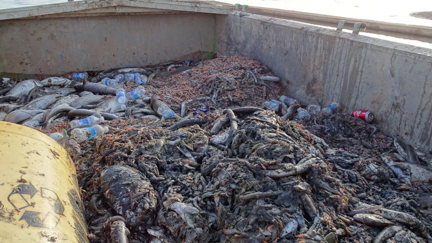 Miles de ejemplares muertos de fauna marina son recogidos de las orillas de las playas de San Pedro del Pinatar, en el Mar Menor (Murcia)