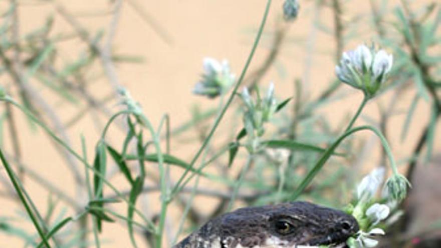En tan sólo 10 años se ha pasado de 6 a 126 ejemplares de esta especie protegida. (ACN / A.R.)