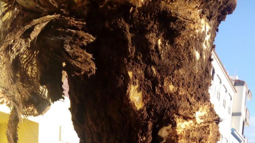 Una de las tres palmeras taladas en la Avenida Marítima  de Santa Cruz de La Palma con la parte alta podrida.