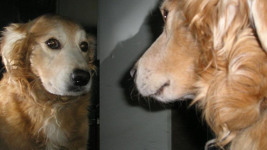 Los perros se reconocen en espejos de olor