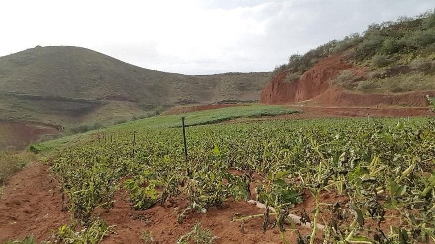 Plantación de papas en Santa María de Guía afectada por el temporal de calima y viento que sufrió Canarias.