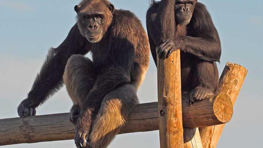 Los chimpancés Gombe y Sandy en Rainfer