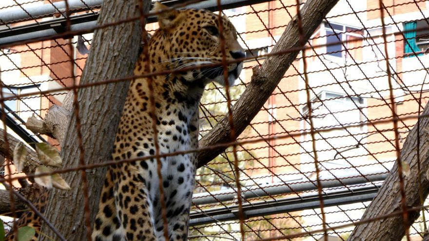 Leopardo enjaulado en el zoo de Barcelona. Foto: Libera!