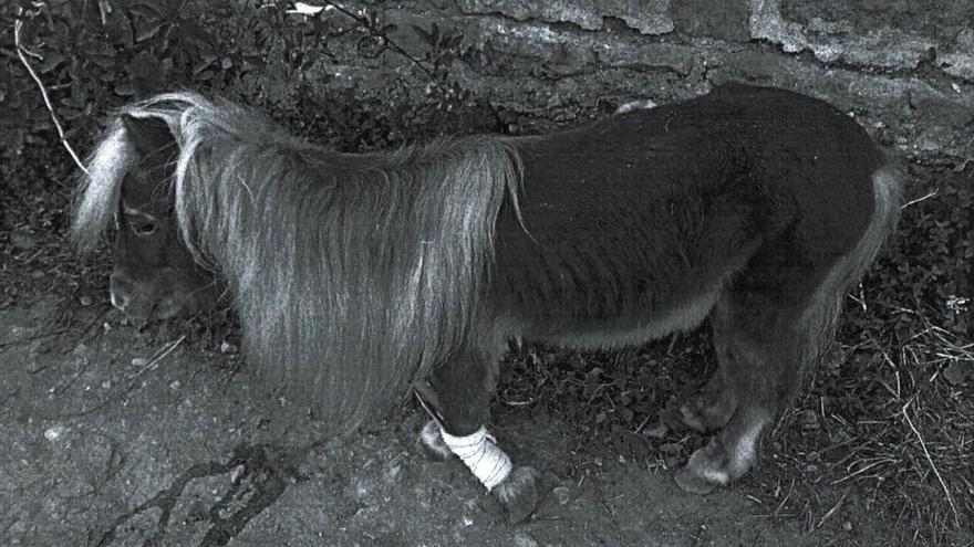 Detenido un acusado de maltratar a su poni, localizado atado a un árbol con una pata fracturada