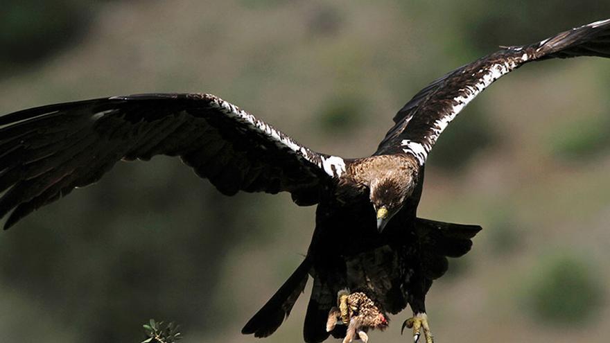 Denuncian obras en un tendido eléctrico junto a un nido de águilas imperiales en pleno periodo de reproducción