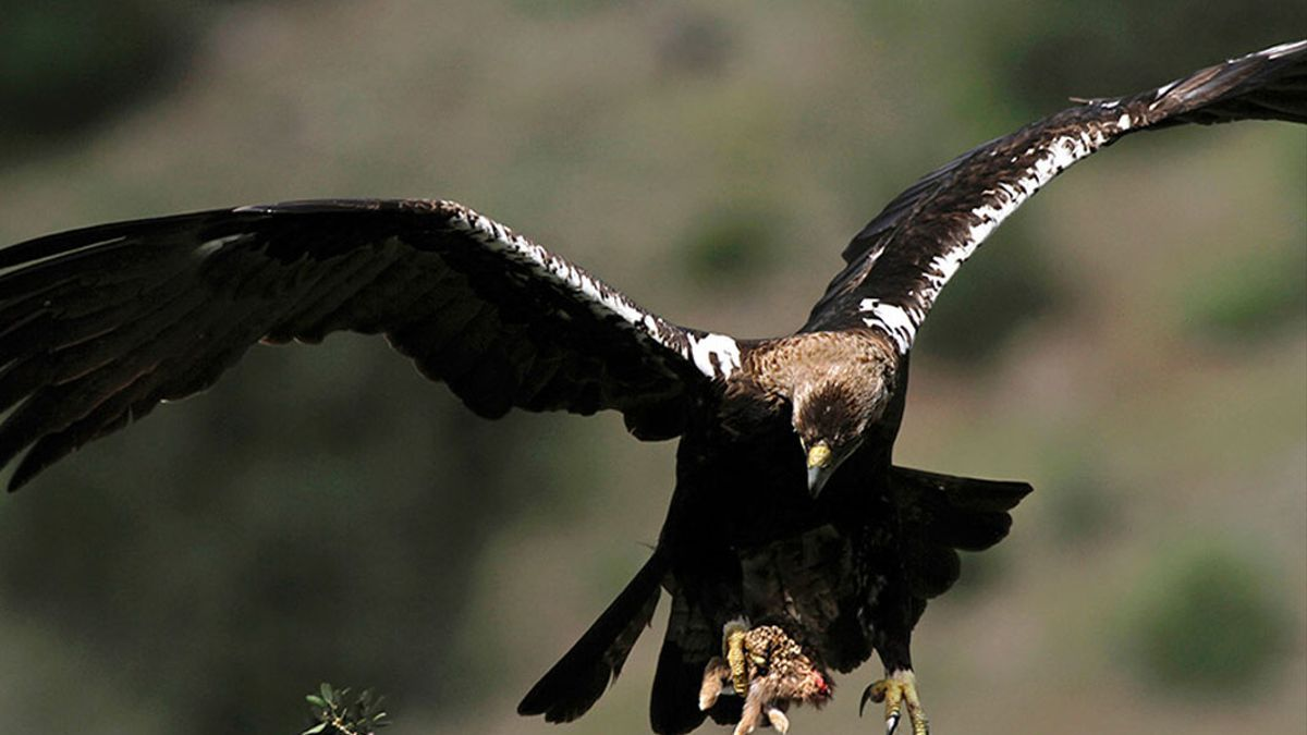 Un águila en libertad.