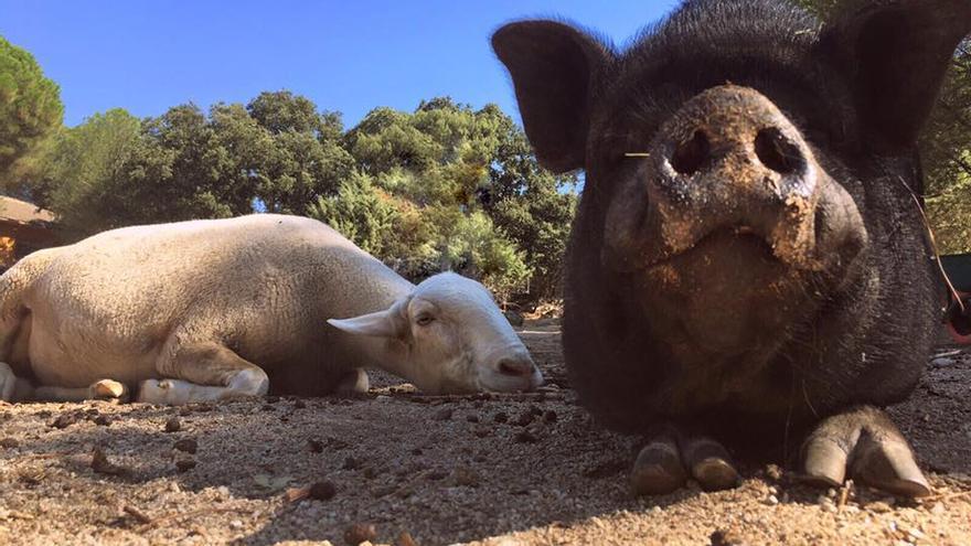 Rudy y Ainhoa, rescatados de la explotación por el santuario El Valle Encantado.