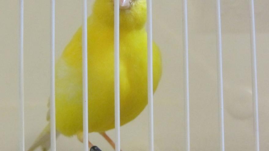 En la imagen, un ejemplar de canario enjaulado.