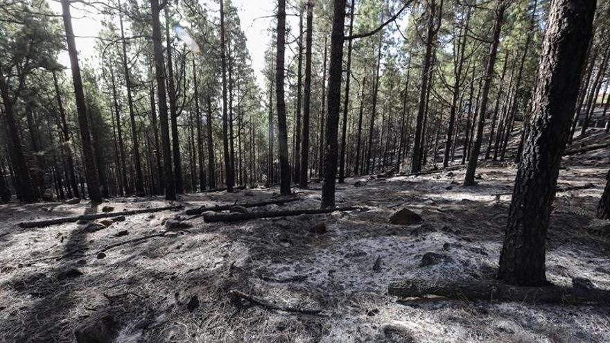 Estado de una las zonas de la isla de Gran Canaria tratadas con fuego técnico en invierno, el pasado jueves.