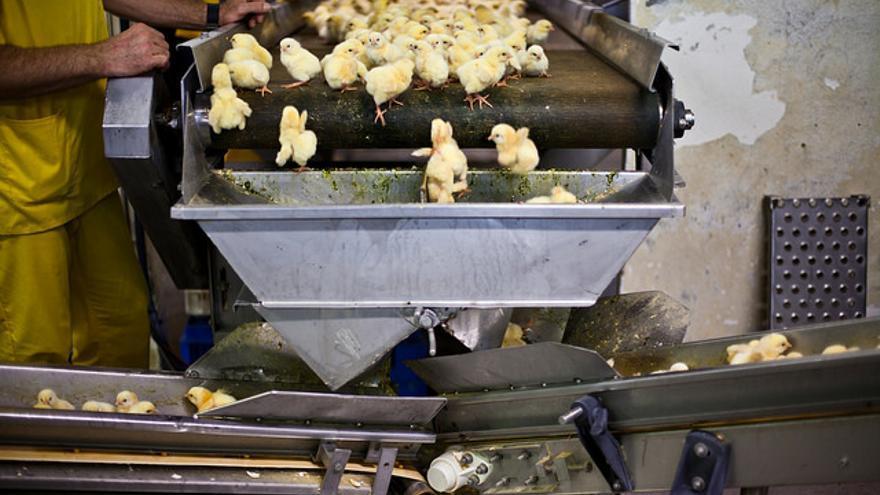 En la industria del huevo los pollitos machos son destruidos nada más nacer por no ser útiles. Foto: Igualdad Animal