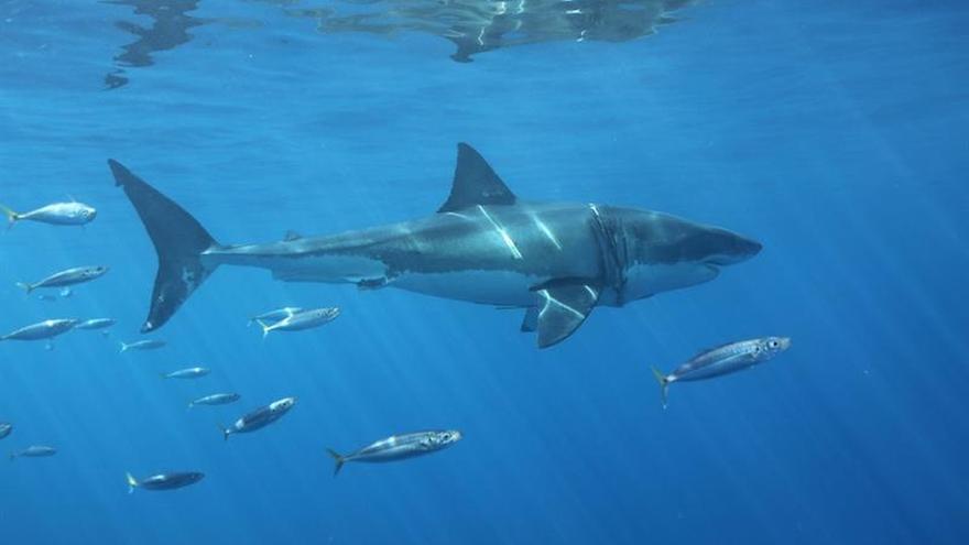 Isla Guadalupe, un lugar privilegiado para ver y conocer al tiburón blanco
