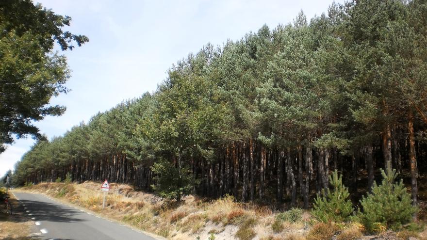 Diputación de Bizkaia publicará esta semana la regulación del tratamiento terrestre contra la enfermedad de los pinos