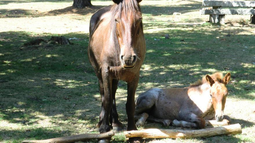 Un caballo en Galicia con cepos que inmovilizan sus patas. Foto cedida por Libera!