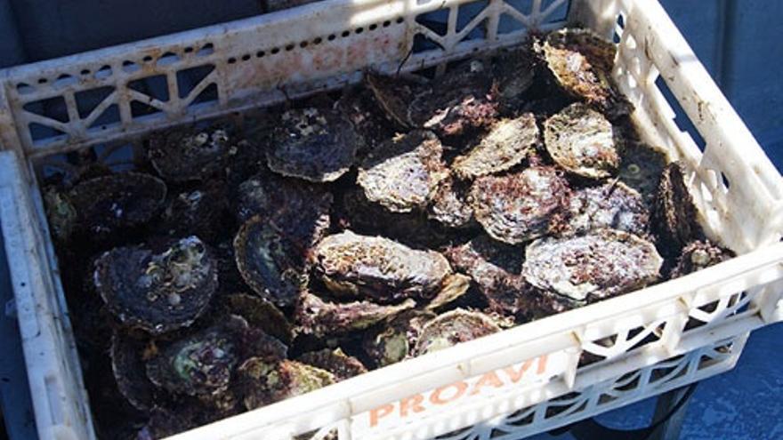 Cantabria abre la zona de producción de Argoños a la extracción de ostras
