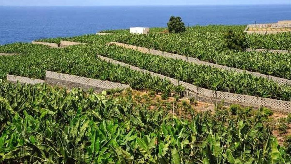 Imagen de archivo de cultivos de platanera.