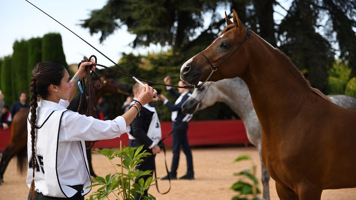 Imagen de una competición de caballos árabes.