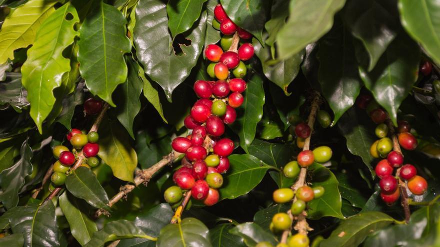 El negocio del café supone el 40% del Producto Interior Bruto de Honduras. Foto: Liana Liseth Funes / Ayuda en Acción