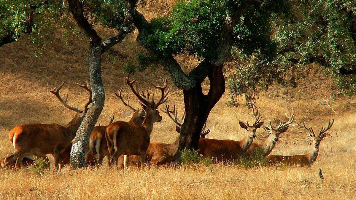Imagen de ciervos en Sierra Morena.