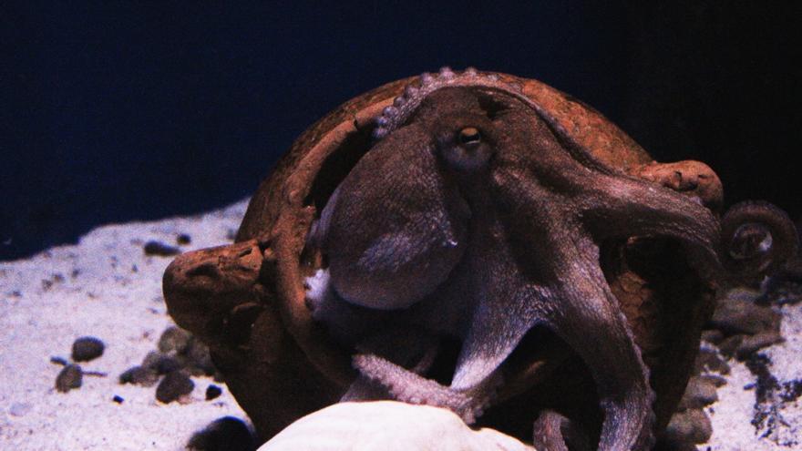 Pulpo en un acuario en Génova, Italia