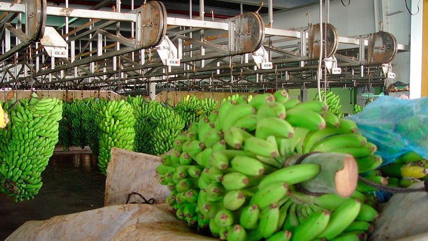 Empaquetado de plátanos en Canarias, en una imagen de archivo