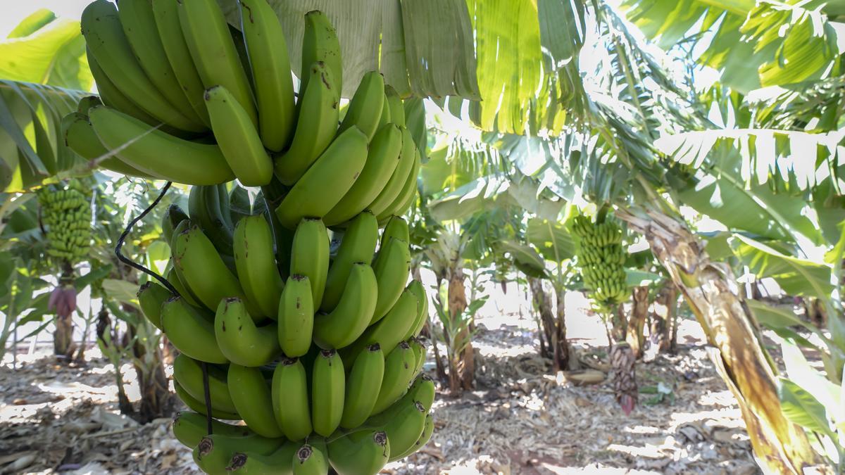 Plantación de plátanos.