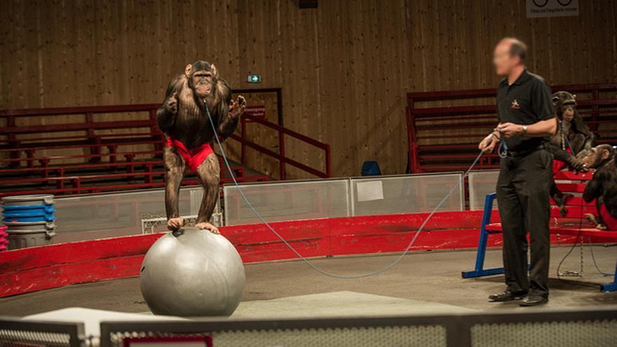 Entrenamiento de un chimpancé en un circo. Foto: Igualdad Animal