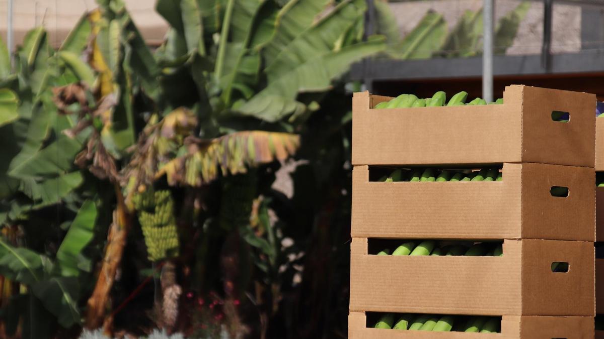 Plantación de plátanos en Canarias