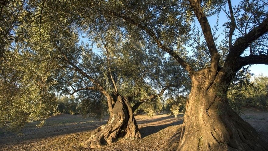 Martos promociona sus recursos oleoturísticos con visitas guiadas a sus olivos centenarios