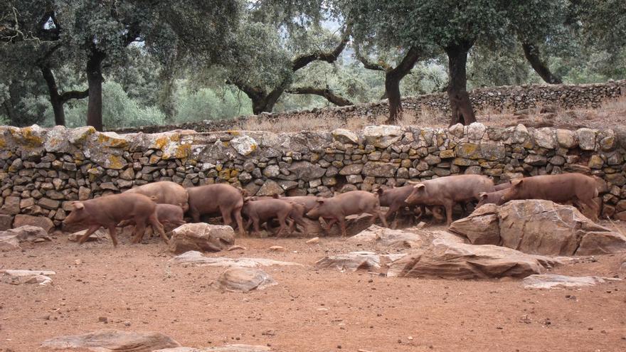 Difunden los valores naturales y culturales de la dehesa con la actividad 'Del cerdo hasta los andares'