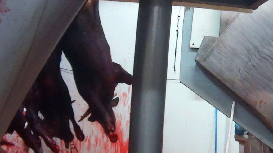 Vaca colgada con las pinzas para la electrocución