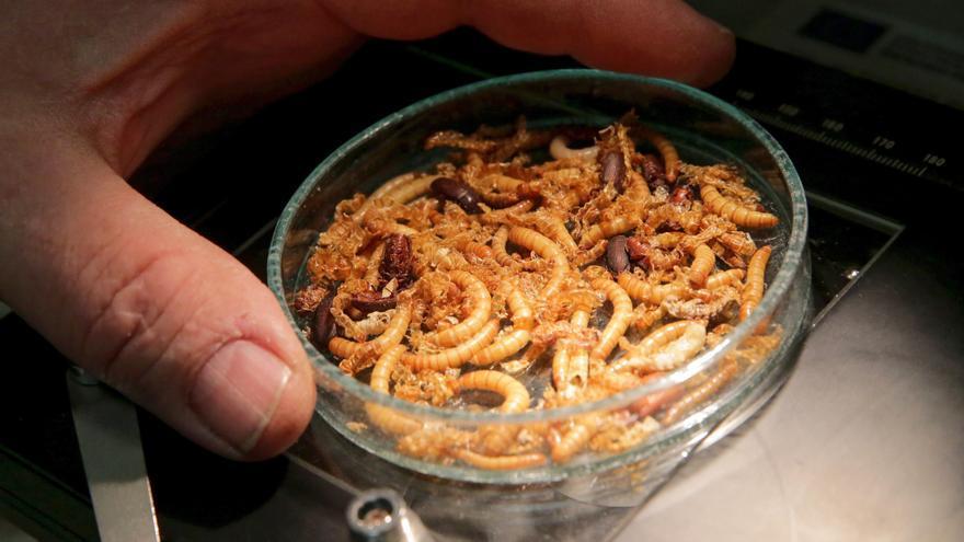 Los gusanos amarillos secos son un nuevo alimento en la UE