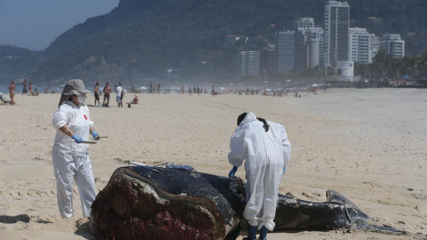 La muerte de ballenas jorobadas bate récord en Brasil, con más de 130 este año