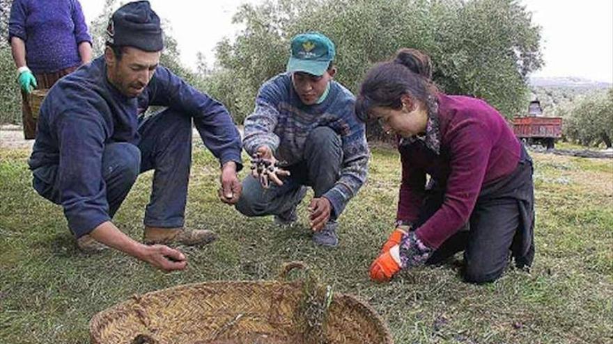Recogiendo aceitunas en el rebusco, en Tierra de Barros