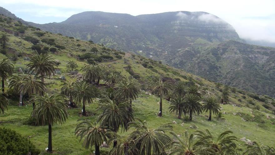 Palmeral en Tazo (Vallehermoso) en La Gomera