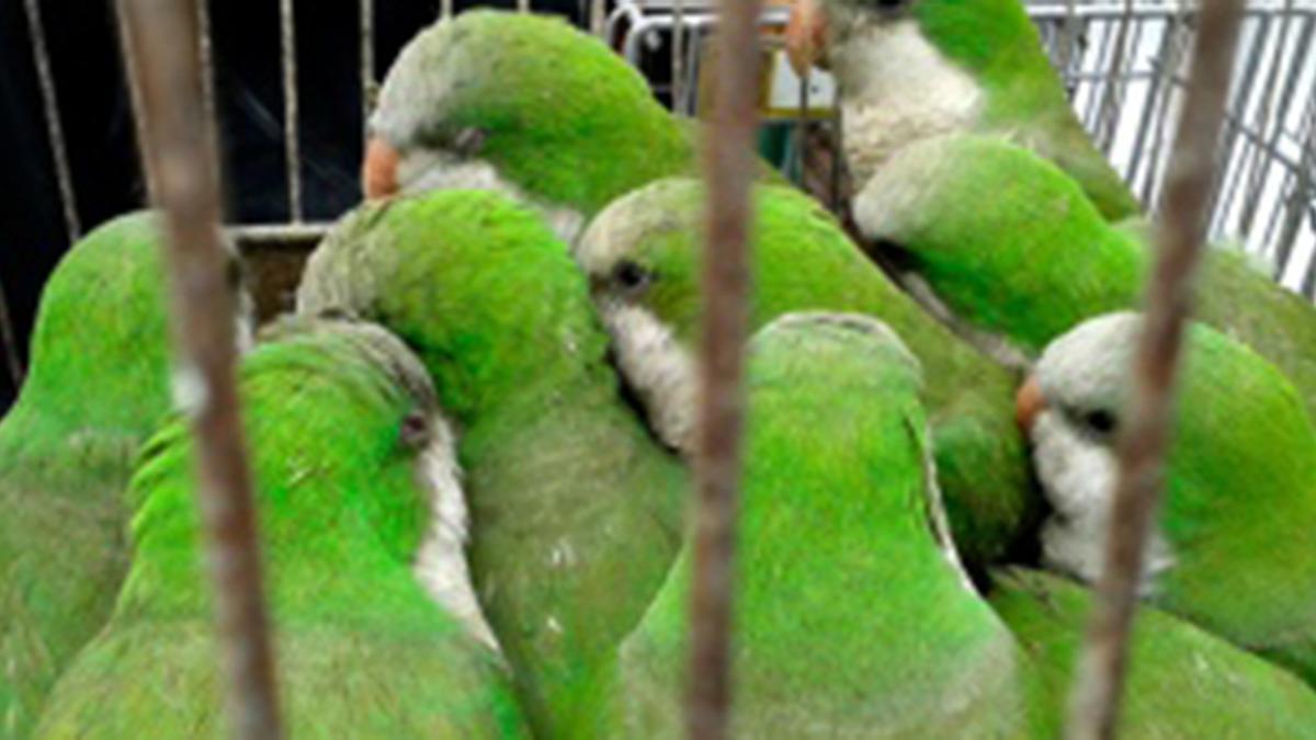 El tráfico de animales es un negocio millonario. Depende el tipo de aves, cada una se puede llegar a vende hasta 40.000 pesos.